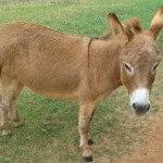 Miniature Donkeys with Pistashio 017